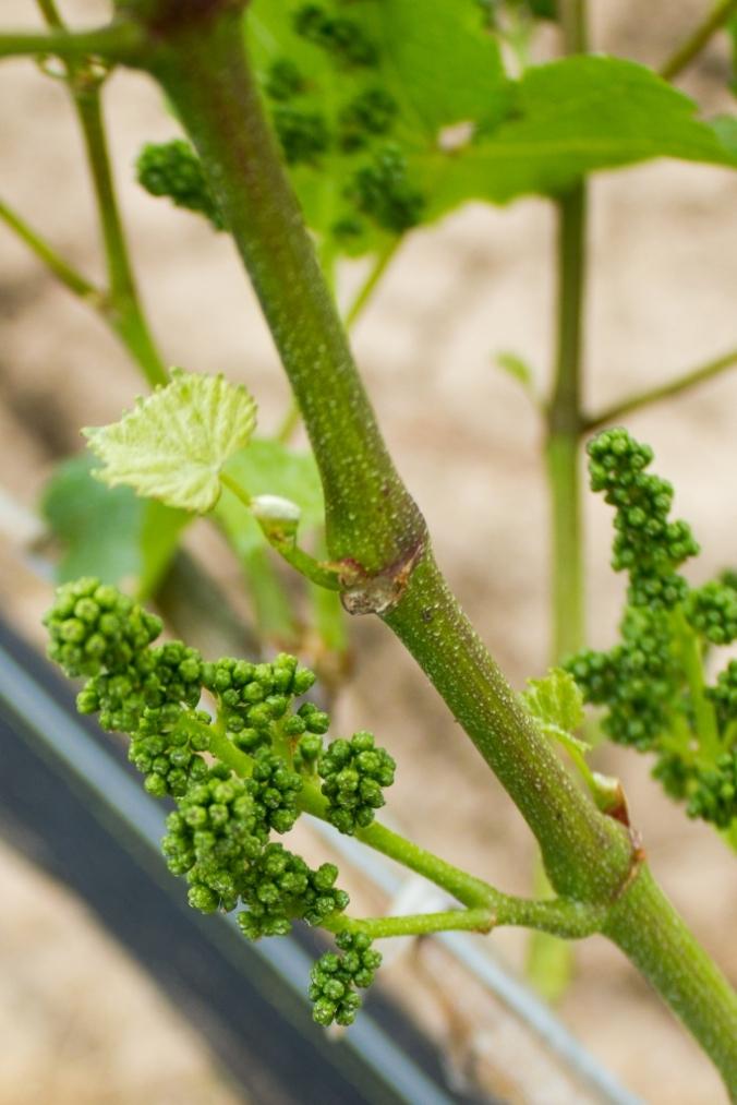grape buds monstermonster