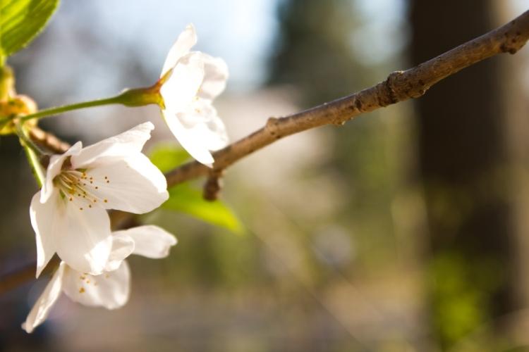 blossom @ high park