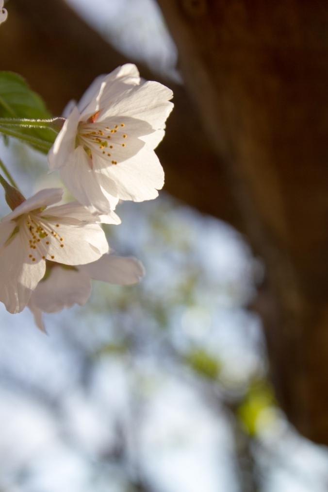 blossom4 @ high park
