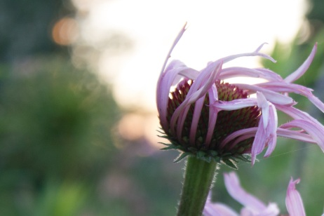 Purpleconeflower1